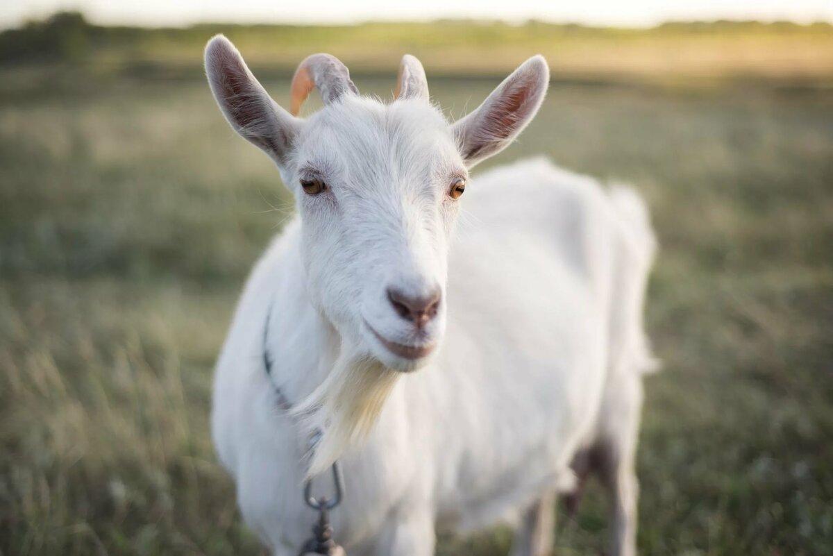 Красивая белая коза
