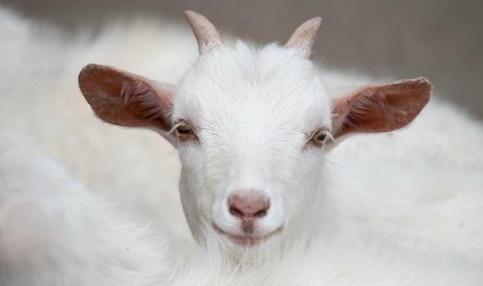 Красивая снежная коза