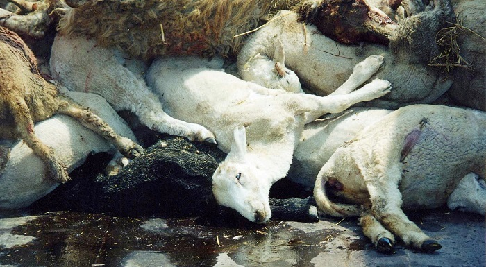 овцы умерли от язвы