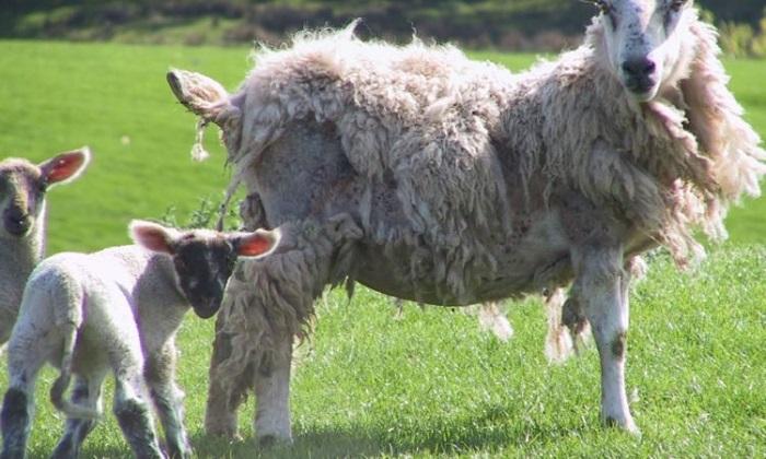 мелофагоз овцы