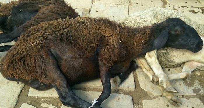 заболевшая бруцеллезом овца