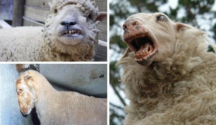 буйная форма бешенства овец