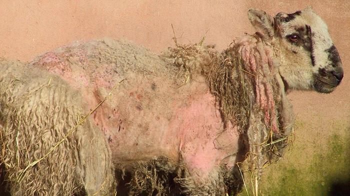 облезлая овца