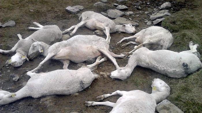 стадо умерших овец