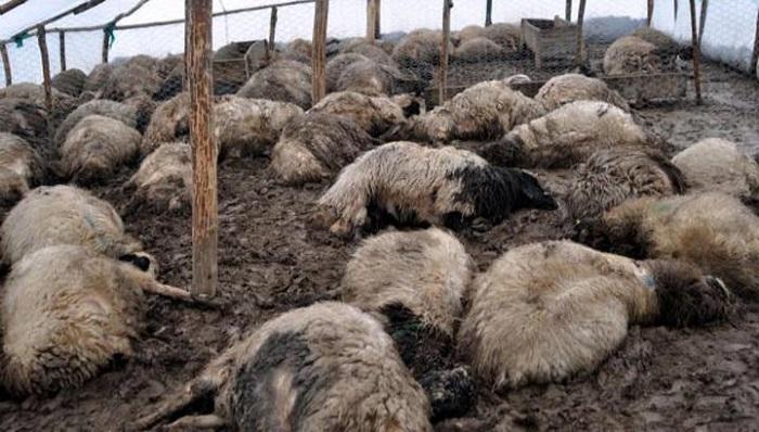 много овец заражены