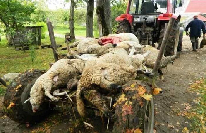 трупы зараженных овец