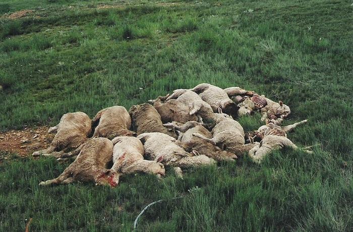 много заболевших овец