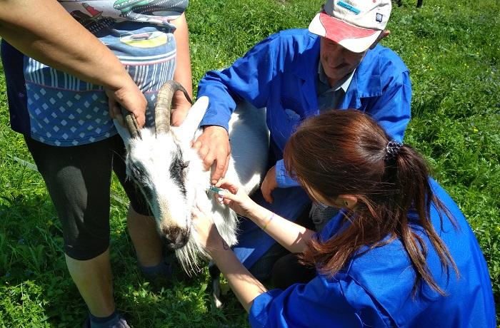 вакцинация козы от бруцилов