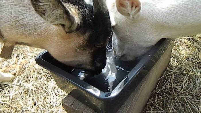 козы пьют одну воду