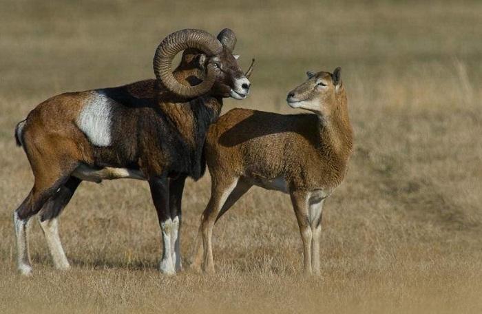 половая охота овец