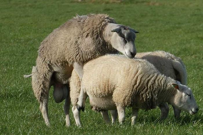 естественное оплодотворение овец