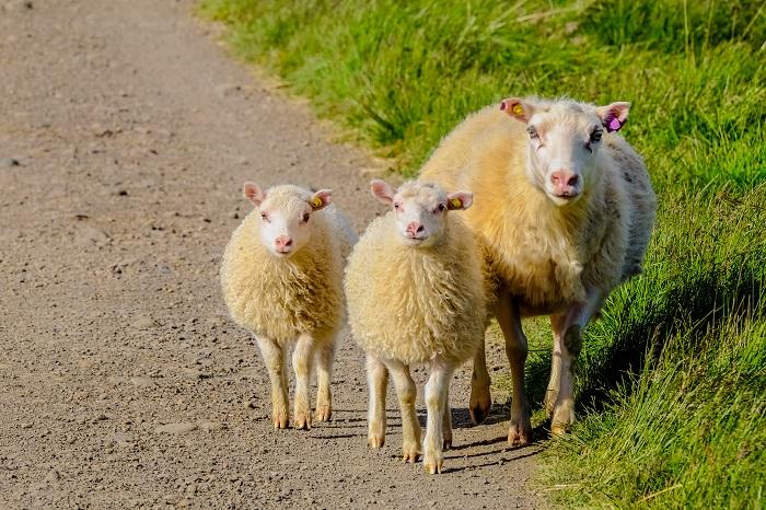 два ягненка и овца на дороге
