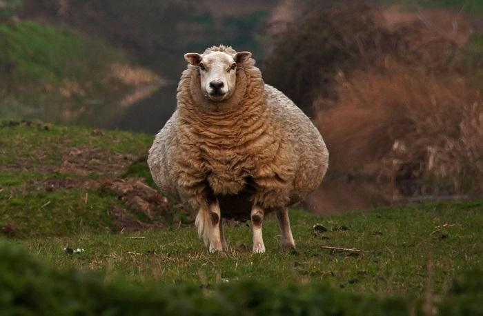 суягная овца