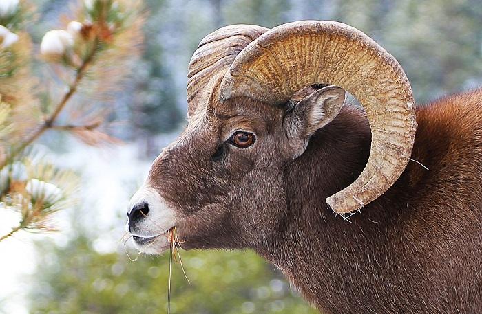 рогатый баран жует траву