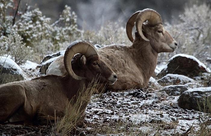 два горных барана лежат