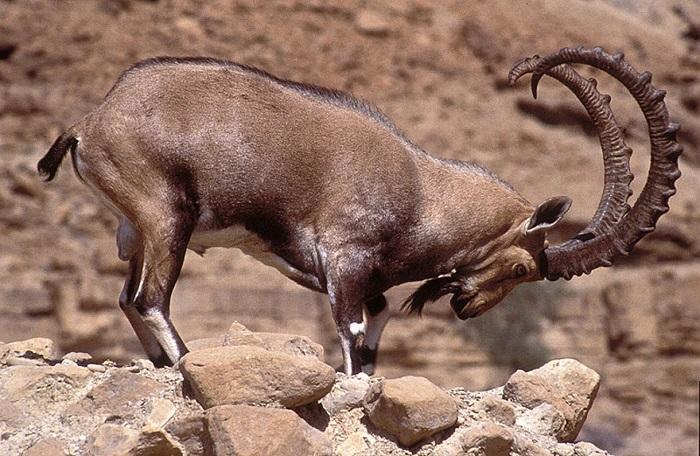 горный баран с большими рогами