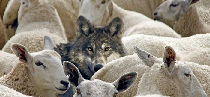 волк в овечьей стае
