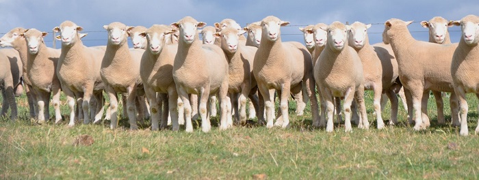 много комолых белых овец