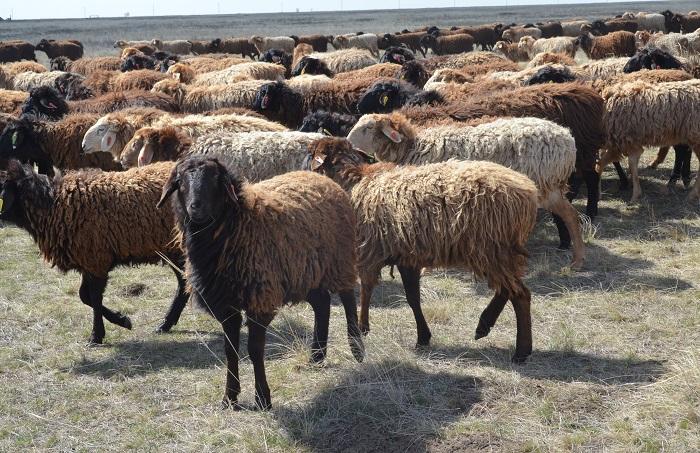стадо курдючных овец
