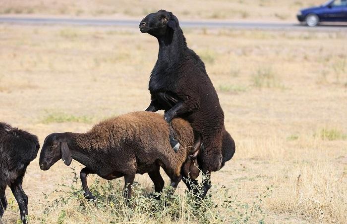 случка черных овец