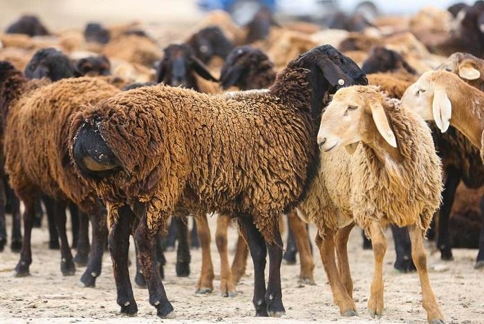 черные и рыжие овцы