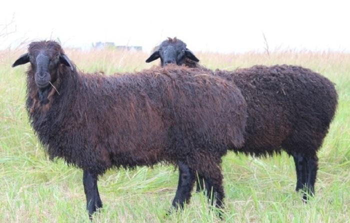 две шерстяные овцы