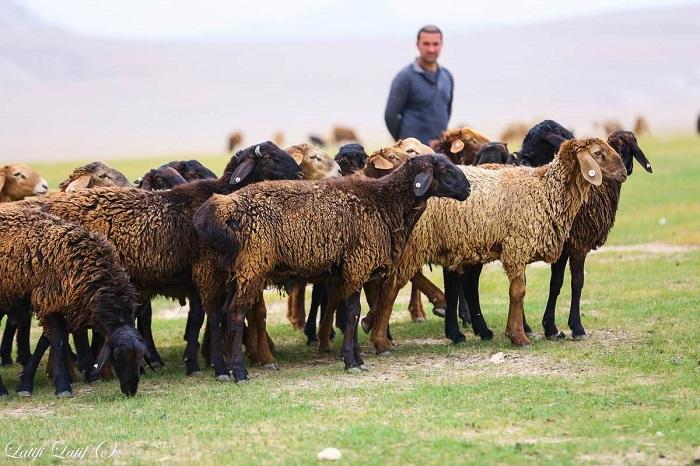 черные овцы на лугу