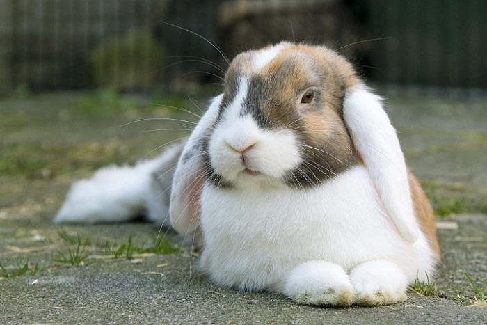 пятнистый вислоухий кролик