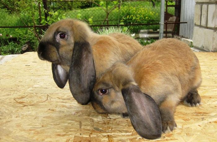 два больших кролика