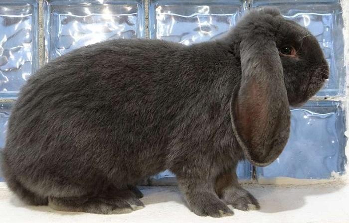 серый вислоухий кролик