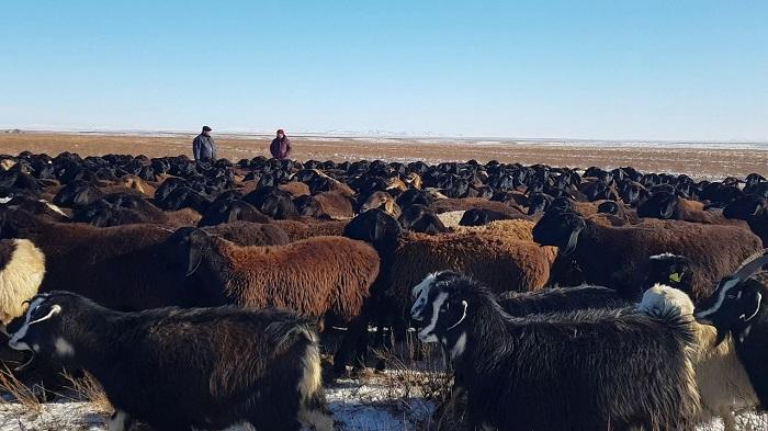 много овец на пастбище