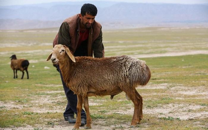 гиссарская овца и человек
