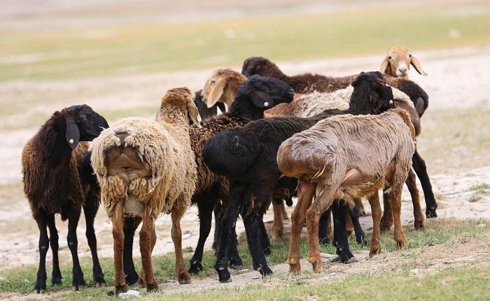 стайка гиссарских овец