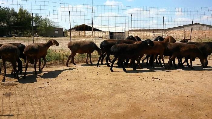 таджикские овцы в загоне