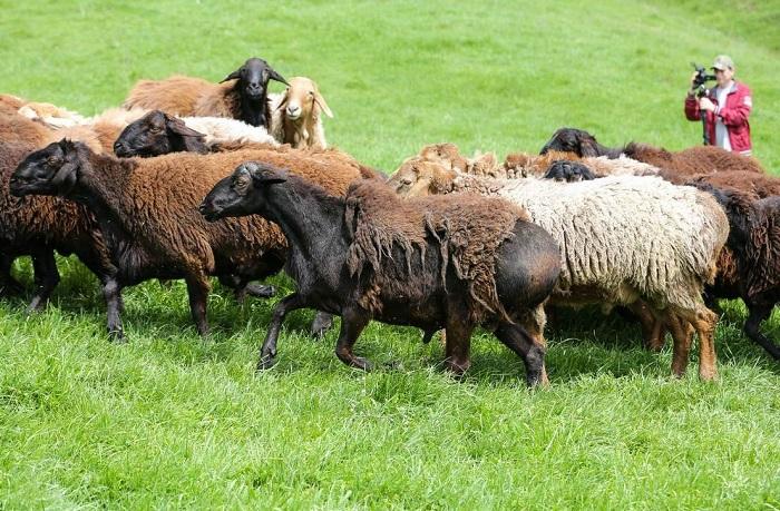 пасьба овец