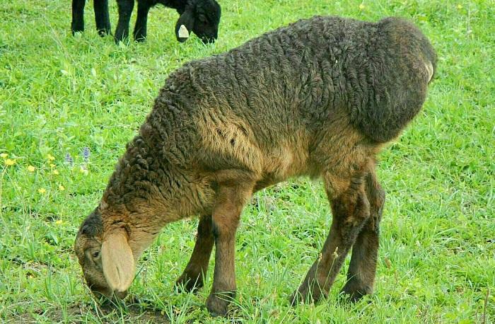 барашек ест траву