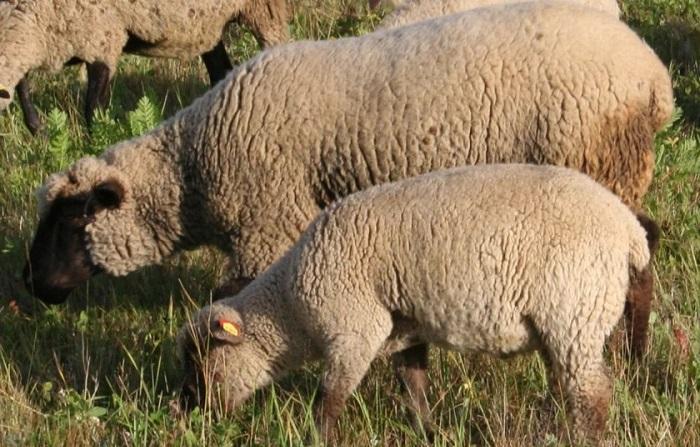 овца и ягненок горьковской