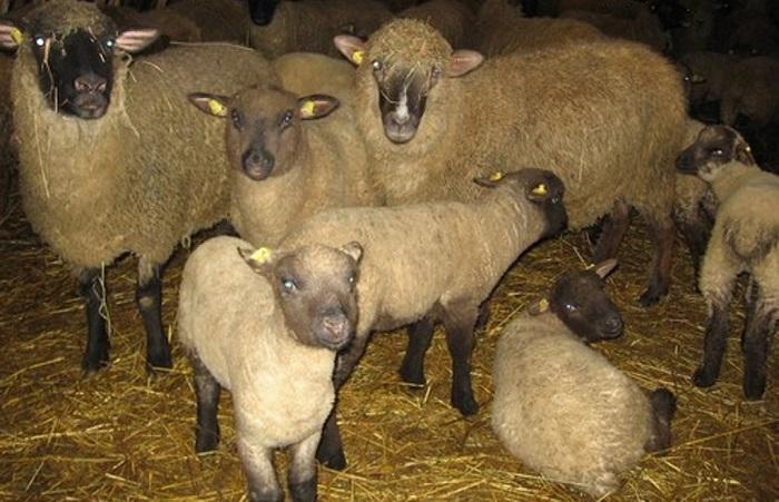 ягнята и овцы горьковские