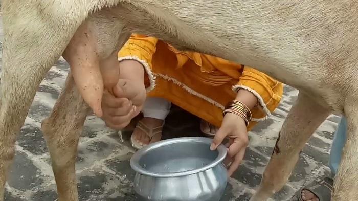 моет вымя козы