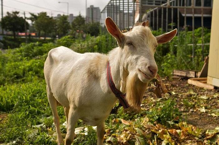 коза в огороде на траве