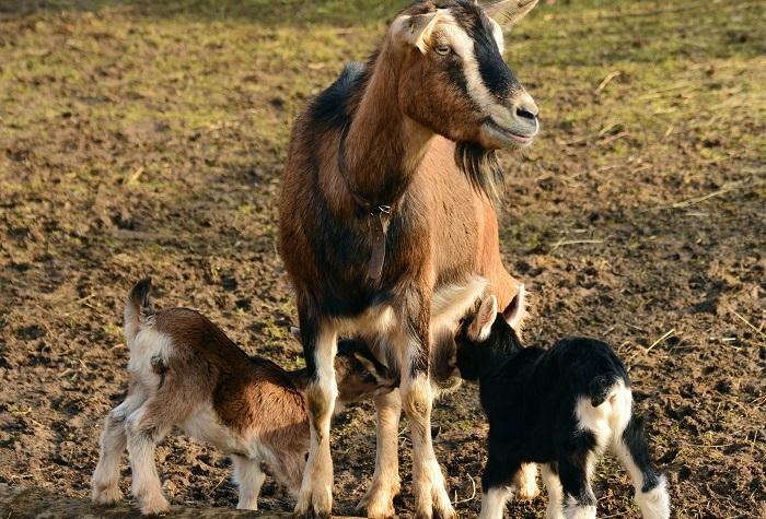 козлята сосут мамино молоко