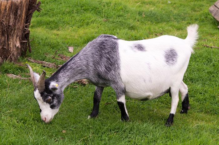 сукозная коза