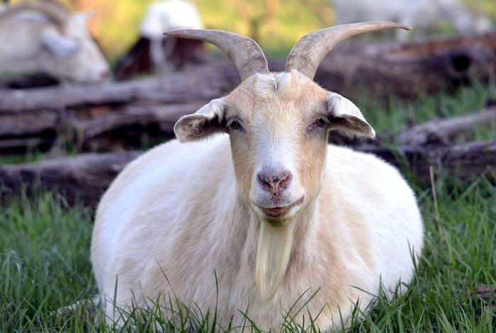 лежачая беременная коза