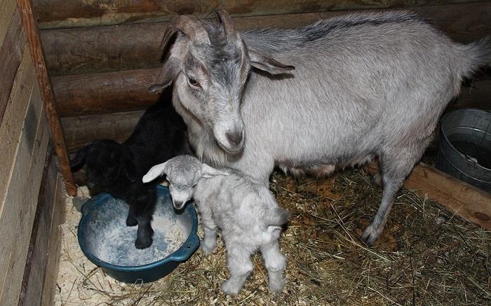 окатившаяся коза ест