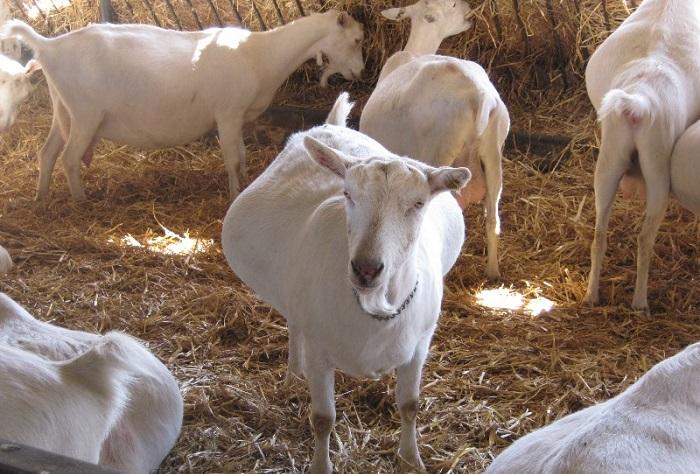 загон беременных коз