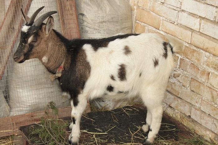 карликовая коза вид сбоку