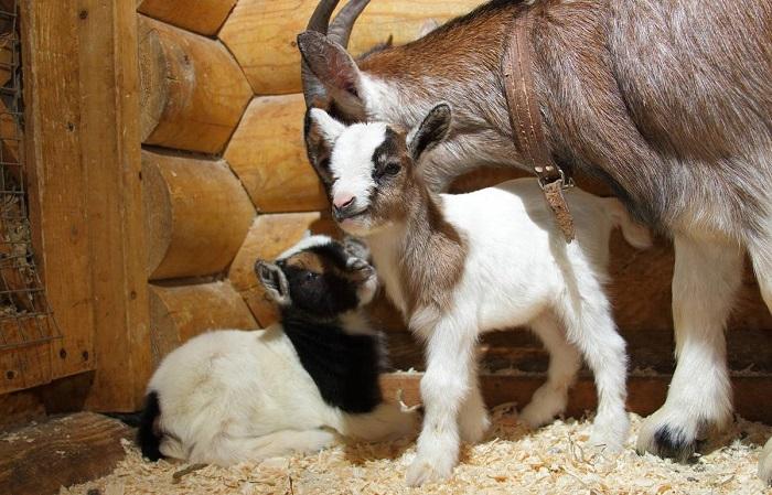 маленькие козлята с самкой