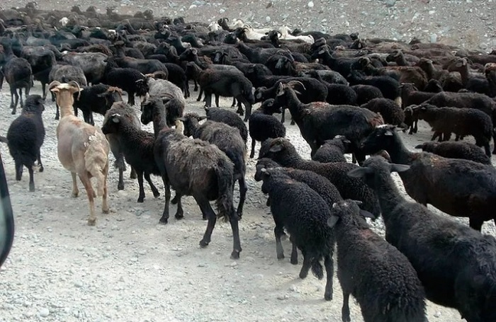 стадо карачаевских черных овец