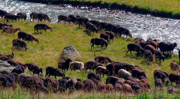 отара карачаевских овец у озера