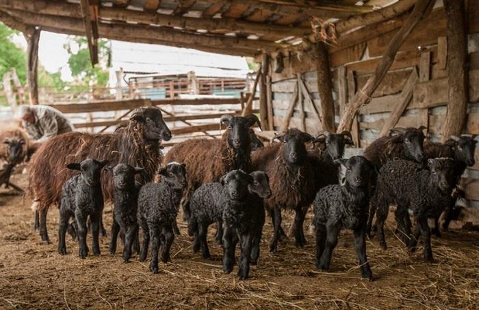 загон карачаевских овец